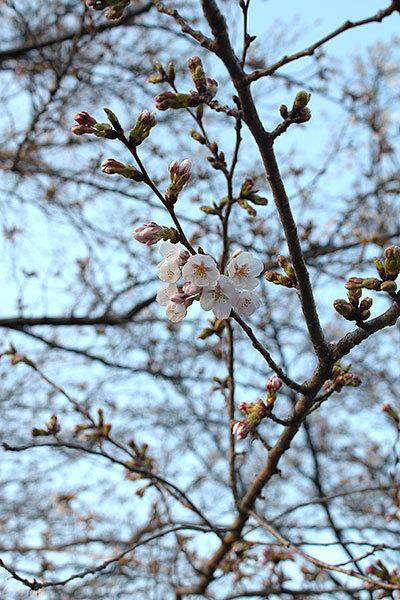 笹山公園(福岡県糸島市前原)の桜 2018年